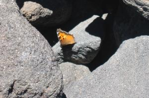 California tortoiseshell on Diamond Peak